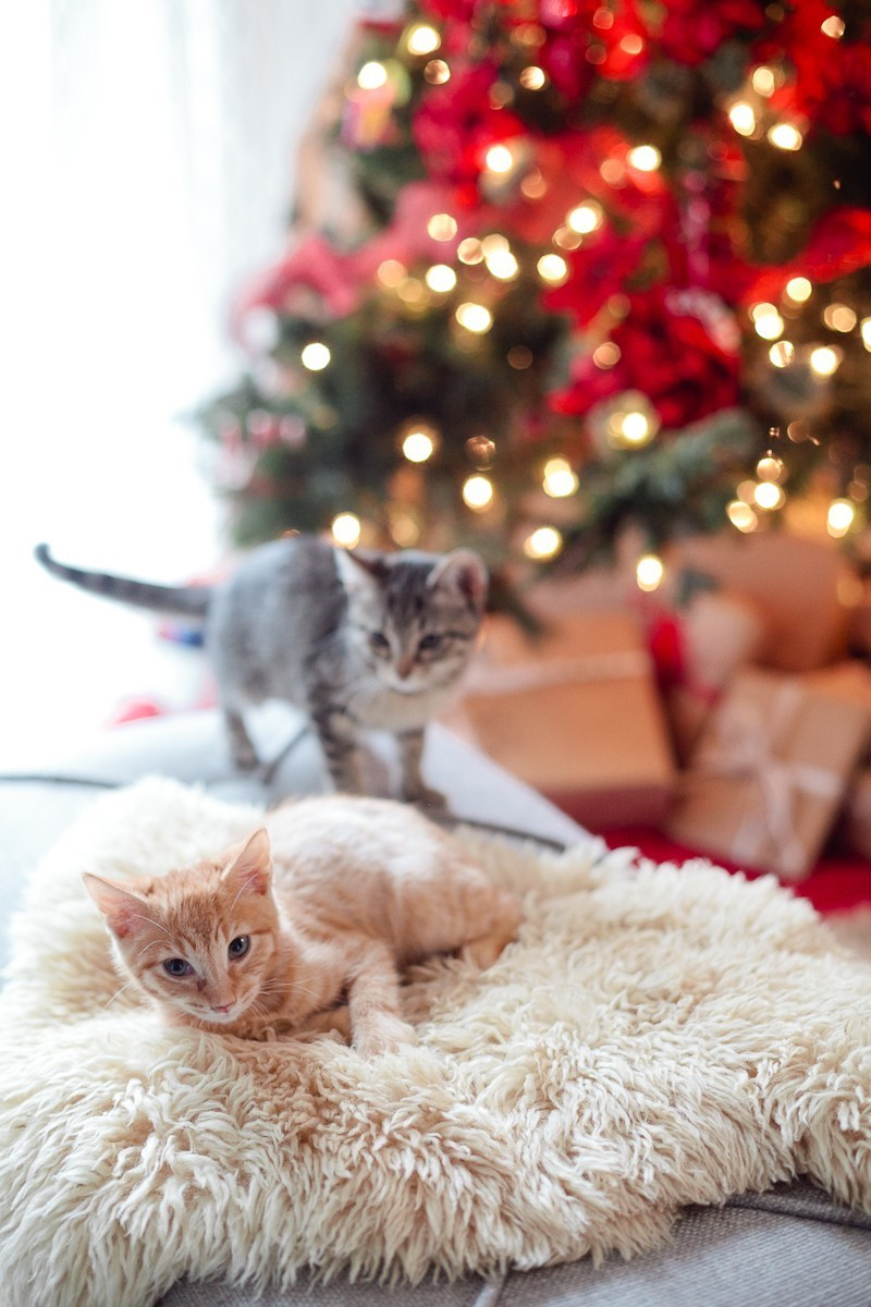 http://freshmommyblog.com/wp-content/uploads/2015/12/Our-new-Christmas-kittens-Gingerbread-and-Noel-4.jpg