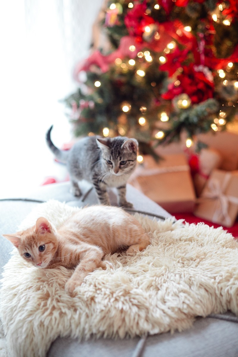 Our new Christmas kittens, Gingerbread and Noel-5