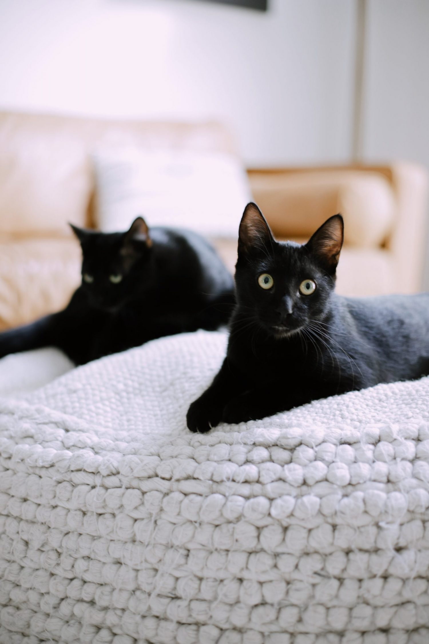What You Don't Know About Cats and Newborns Living Together | Cats and Newborns by popular Florida motherhood blog, Fresh Mommy Blog:  image of two black cats.