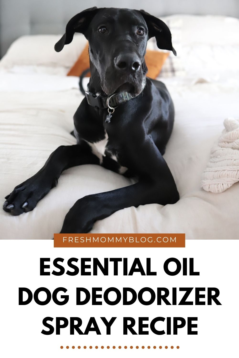 Essential Oils Safe for Dog Deodorizer Spray |Dog Deodorizer Spray by popular Florida lifestyle blog, Fresh Mommy Blog: Pinterest image of a black Great Dane dog sitting on a bed with white bedding.